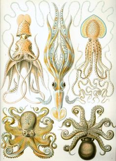There's something arty and beautiful about anatonical drawings by Haeckel - I want to print this super large on one wall in my home.  Haeckel Gamochonia Octopus Family You Print by wondrousstrange, $2.95