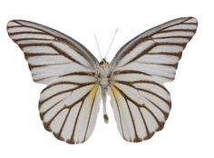 Appias hombroni Underside, Indonesian White Butterfly