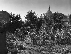 Allotment on a bombsite near St Paul's, City of London London Pictures, Vintage London, Allotment, London City, Cathedral, England, Explore, History, Architecture