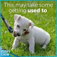 A 6-foot leash is a good length to keep your puppy safe during his first year. How long did your puppy take to get used to his leash? #puppy #leash #safe #walks