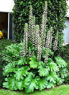 Acanthus - SHADE!  or sun.  Mollis - 4-5 flu high in bloom.  Leaves to 2 ft long !!! Combine with Hosta 'August Moon', Ophiopogon (Black Mondo Grass), Acanthus or Carex 'Bowles Golden' and Brunnera Bulgloss