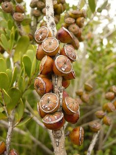 I think these are Melaleuca (tea tree) seed pods. Not the same species as the other Melaleuca I shot on this trip, though. Shot in San Francisco, California, in late December. Garden Seeds, Planting Seeds, Planting Flowers, Unusual Plants, Exotic Plants, Flora, Dame Nature, Tree Seeds, Exotic Fruit
