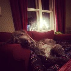Irish Wolfhound working that couch.