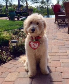 Enzo ready for Halloween  Goldendoodle beanie baby