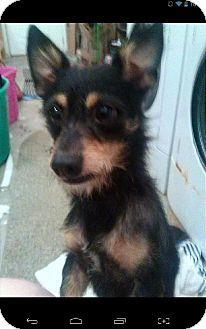 Trenton, NJ - Miniature Schnauzer/Chihuahua Mix. Meet Daddy, a dog for adoption. http://www.adoptapet.com/pet/11724116-trenton-new-jersey-miniature-schnauzer-mix