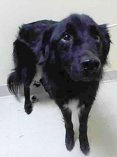 Staten Island Center HUMBERT – A1054588 MALE, BLACK, BORDER COLLIE, 3 yrs STRAY – STRAY WAIT, NO HOLD Reason STRAY Intake condition UNSPECIFIE Intake Date 10/12/2015 http://nycdogs.urgentpodr.org/humbert-a1054588/