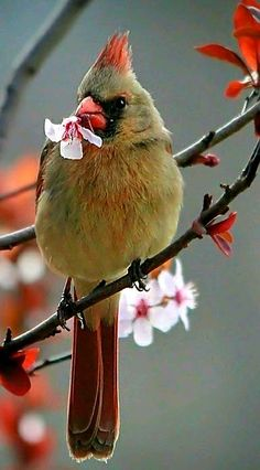 Spring Cardinal (female) pulling off blossoms on a purple plum tree. - by Jackie Hodsdon