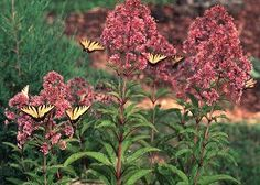 Eupatorum fistulosum---Joe-Pye weed. Don't be put off by the word weed. It is beautiful and loved by flutterbies as you can see! :)