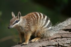 The numbat (Myrmecobius fasciatus), also known as the banded anteater, marsupial anteater, or walpurti, is a marsupial found in Western Australia. Its diet consists almost exclusively of termites. http://en.wikipedia.org/wiki/Numbat Image credit Janine Filov #Marsupial #Numbat
