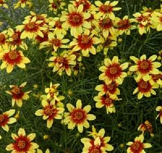 Coreopsis 'Route 66' Deer resistant butterfly magnet. Blooms all summer.