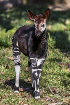 Strutting His Stripes! Amaranta a four-week-old male okapi calf explored his outdoor habitat for the first time today at the San Diego Zoo Safari Park. Rare Animals, Cute Baby Animals, Animal Babies, Wild Animals, Okapi, Most Beautiful Animals, Beautiful Creatures, San Diego Zoo, African Animals
