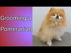 BEST overal Info!!!  How to Groom a Pomeranian - How to Cut Pomeranian Hair at Home