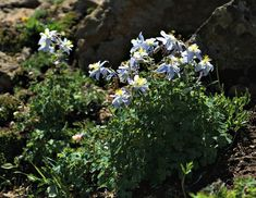 Growing Columbine - How to Grow Aquilegia for Unique Bell Shaped Flowers Hardy Perennials, Shade Garden, Rainbow Colors, Blue Flowers, Seeds, Backyard, Gardening, Shapes, Plants