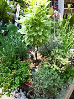 """My totally edible herbal landscape with Pesto Basil """"tree,"""" chive """"grasses,"""" thyme """"ground covers,"""" lavender, oregano and curry plant """"bushes""""--""""prune"""" every 2-3 weeks for a sizable harvest to use in pasta sauces, salads, desserts or cocktails."""
