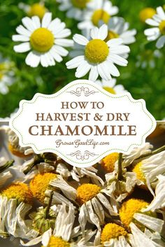 How to harvest and dry chamomile: Chamomile flower heads are ready to gather when the petals fall back from the center. Harvest the flowers on a sunny day after the morning dew has dried. Read on for tips on harvesting, drying, and preserving chamomile pl Healing Herbs, Medicinal Plants, Herb Garden, Garden Plants, Fruit Garden, Flowers Garden, House Plants, Garden Hedges, Flower Gardening
