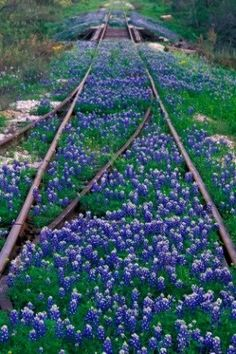 Old train tracks and Texas bluebonnets Abandoned Train, Abandoned Places, Trains, Beautiful Flowers, Beautiful Places, Flora Und Fauna, Texas Bluebonnets, All Nature, Blue Bonnets