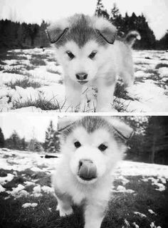 Alaskan Malamute; I can't wait until we get ours!
