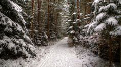 Nature photo with irresistible panorama snowy winter wonderful spruce forest.