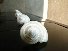 REAL SILVER POLISHED TURBO SEA SHELL DRAWER KNOBS- BEACH DECOR