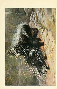 Porcupine. Wild life of the world v.1 London ;F. Warne and co.,1916. Biodiversitylibrary. Biodivlibrary. BHL. Biodiversity Heritage Library