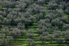 Olivenhain in Ligurien