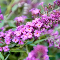 Buddleja Free Petite Plant - Dark Pink - Suttons Seeds and Plants