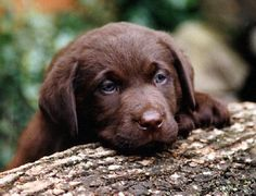 Labrador Retriever, Dogs, Animales, Mans Best Friend, Labrador Retrievers, Doggies, Labrador Retriever Dog, Dog