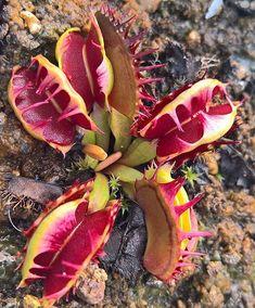 Decorative Rocks Ideas : Venus Flytrap Fused Tooth Strange Flowers, Unusual Flowers, Unusual Plants, Rare Plants, Exotic Plants, Cool Plants, Tropical Plants, Alien Plants, Plante Carnivore