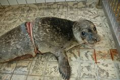 As a young this seal swam through a plastic band. The poor seal did not survive.