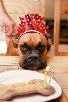 boxer birthday. Really, mom. I have to go thru all this for a treat?