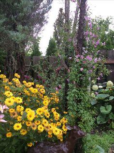 Clematisy in the garden