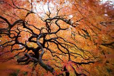 chinese maple at the japanese garden, portland