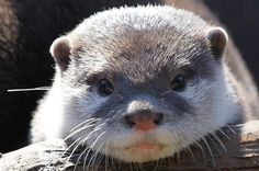 <b>You <i>otter</i> be ashamed of yourself if you don't love these critters.</b>