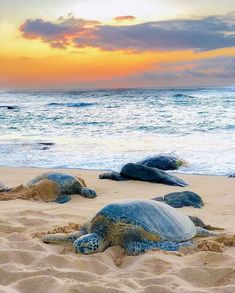 Basking in the sunset PC Save The Sea Turtles, Baby Sea Turtles, Small Turtles, Sea Turtle Wallpaper, Sky Sunset, Sea Turtle Painting, Turtle Habitat, Turtle Bay Resort, Turtle Love