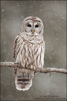 Barred Owl in the snow.