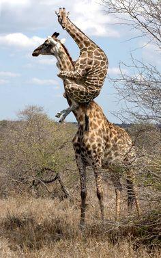 b3ta.com challenge: giraffes!
