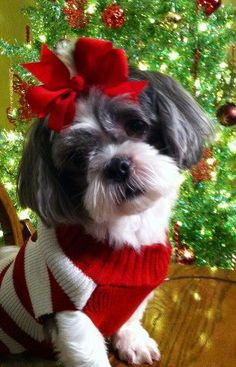 There's a line on the fast track to Santa, I'm on it! #dogs #pets #ShihTzus facebook.com/sodoggonefunny