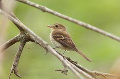 Foto enferrujado (Lathrotriccus euleri) por Helberth C. Peixoto | Wiki Aves - A Enciclopédia das Aves do Brasil