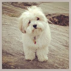 Cuteness! My little Charlie the Havanese in Central Park NYC http://korenreyes.com