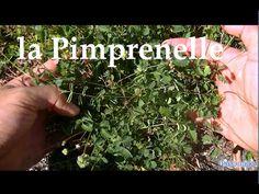 La pimprenelle plantes sauvage comestible - YouTube