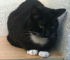 Black cat with pretty white points,  probably about 2 years old, male and neutered.  He is shy but getting friendly.  Would love to have his own forever home, and is sociable with other cats.  Please contact Jean on 01631 566406 (after 8pm) if you feel that you can give one of our cats a forever home. Email rehoming@argyllanimalaid.org.uk