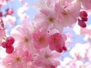 Pink blossoms on a cherry tree