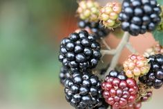 How to Trim Blackberry Bushes