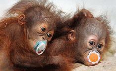 Orangutany ze smoczkiem.gif