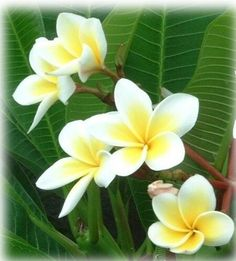 81 Best Floral Plumeria Images Plumeria Flowers