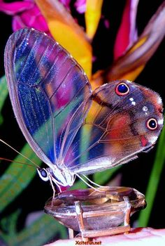 Butterflies r 1 of the most colorful creations of God.Often marked as a flaying beauty,they r quite secretive too.Let's unveil some of the cool facts about them.The  fact about butterflies is their transparent wing. If you r giving an argument that it is their wings which make them colorful,there is a secret behind it.In actual, their transparent wings are covered with colorful scales When a butterfly gets old these scales fall down & transparent wing chitin gets visible.,from Iryna