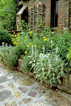 Details: Green Traditional Garden Keywords: Achillea, Raised Planting Beds, Stachys Byzantina, Flowerbed, Stachys, Yellow, Achillea Coronation Gold. Thyme, Herbs, Paving, Herb Garden, Brick, Thymus Serpyllum