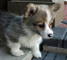 THE WELSH CORGI- perfect for a family or an apartment. Dont need much exercise but needs LOTS if social interaction