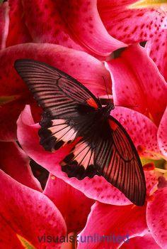 Scarlet Mormon Butterfly (Papilio rumanzovia)