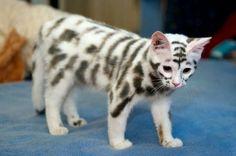 Skelton kitty,  natural markings